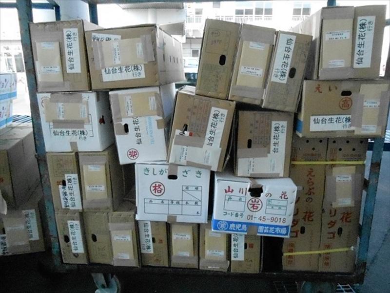 鹿児島スプレー菊会プロジェクト◆菊到着_2013_3-6