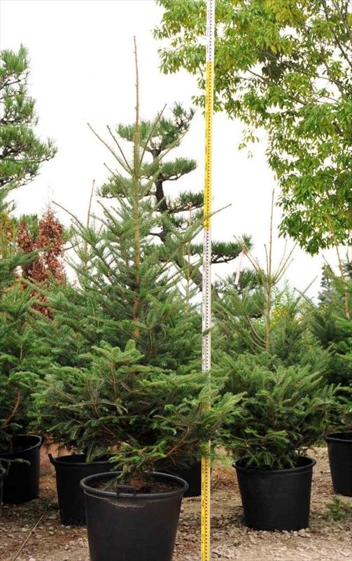 クリスマスツリー用モミノキ
