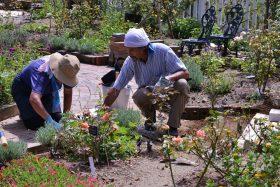 プランターのヒマワリが咲き始め