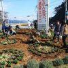 大川地区の交差点花壇の花植え作業
